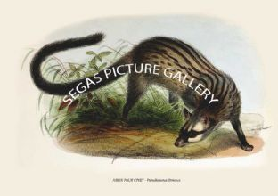 ASIAN PALM CIVET - Paradoxurus Strictus